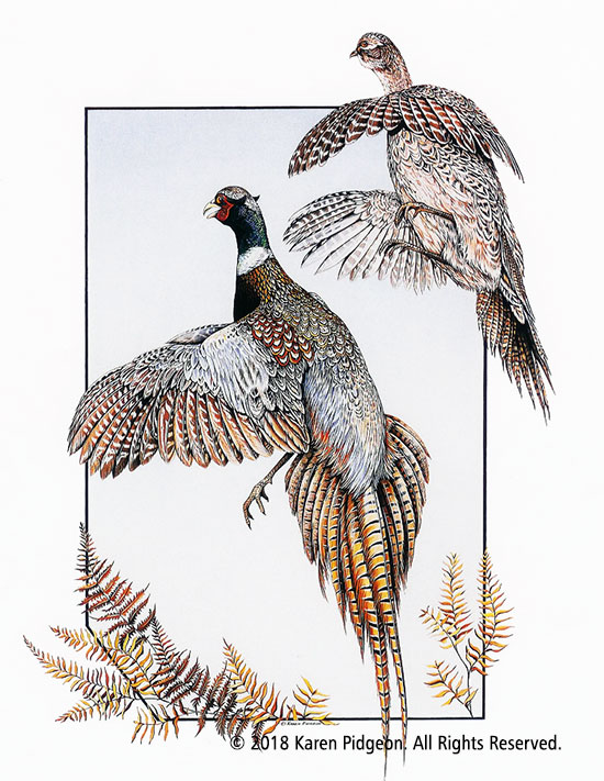 Karen Pidgeon - Rign Necked Pheasants