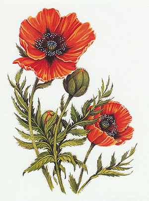 Karen Pidgeon - Poppy Flowers