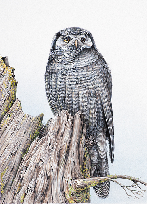 Karen Pidgeon - Hawk Owl
